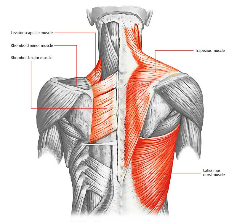 Back muscles that are worked by back exercises.