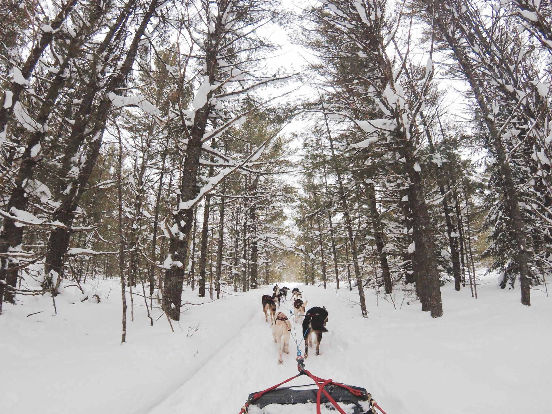 Husky dogs on a snowy trail